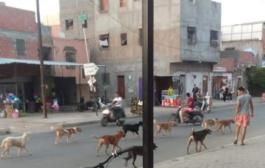الكلاب الضالة تجوب شوارع مراكش و السلطات تتجاهل شكايات المواطنين
